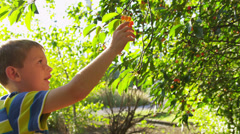 Young boy picking cherries - stock footage