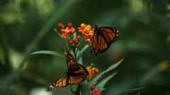 Stock Video Footage of Monarch Butterfly, slow motion