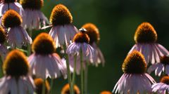 Bee on Echinacea flowers, slow motion Stock Footage