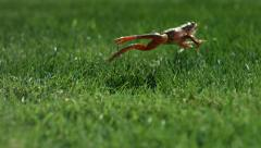 Frog jumping in grass, slow motion - stock footage