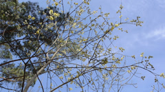 Willow branches with fluffy willow buds easily sways in wind Stock Footage