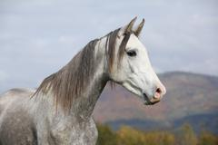 nice arabian stallion with long mane in autumn - stock photo