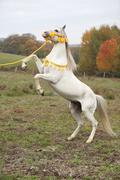 gorgeous arabian stallion prancing - stock photo