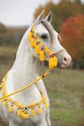 beautiful white arabian stallion with nice show halter - stock photo