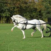 Nice welsh mountain pony stallion running Stock Photos