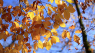Stock Video Footage of close up leaves in golden autumn season
