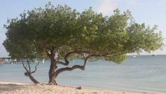 Divi tree, Aruba Stock Footage