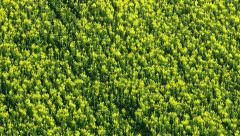Zoom out from canola field, aerial shot Stock Footage