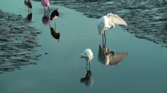 Birds feeding and preening at low tide - stock footage