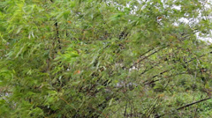 Bamboo in storm Stock Footage