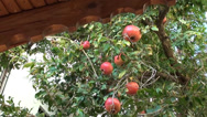 Stock Video Footage of Pomegranates on tree