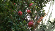 Stock Video Footage of Pomegranates on tree 2