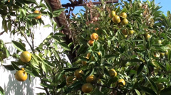 Mandarins in the garden 2 Stock Footage