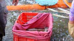 Fishermen harvest fish Stock Footage