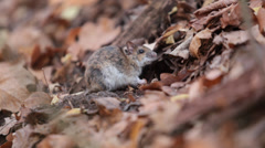 forest mouse eats nuts found under fallen leaves. apodemus uralensis - stock footage
