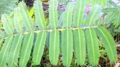 Mimosa pudica leaf Stock Footage