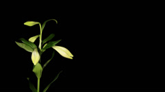 White lily on the black background (longiflorum. White Europe) Stock Footage