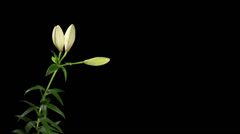 Blooming white lily on the black background (Lilium monadelphum subsp. armenum), Stock Footage