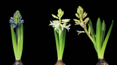 Time-lapse opening hyacinth flower buds ALPHA matte, (Hyacinthus) Stock Footage