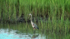 Great Blue Heron looking around in the marsh Stock Footage