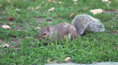 Squirrel eating grass in slow motion Stock Footage