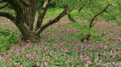 Pink blooming ground cover geranium macrorrhizum under old tree + insects Stock Footage