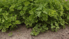 Parsley on the bed in the garden Stock Footage