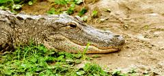 Alligator in the grass Stock Photos