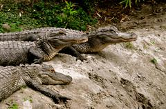 alligator group - stock photo