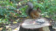 Stock Video Footage of squirrel carries nuts