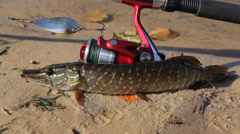 Pike caught on spinning, lies on the banks of the river. Stock Footage