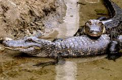 alligator pair - stock photo