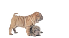 Two shar pei puppies on a white background Stock Footage