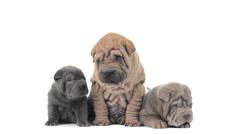 Three shar pei puppies sitting and looking around Stock Footage