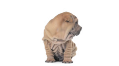 Shar pei puppy with hiccup sitting and looking around Stock Footage