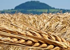 Barley with background of a montain Stock Photos