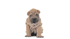 shar pei puppy sitting, looking around and falling asleep - stock footage