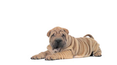 Shar pei puppy lying and looking around Stock Footage