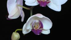 White orchid time lapse Stock Footage