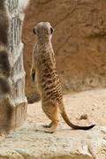 Meerkat . Stock Photos