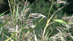 Phragmites, common reed, reed stems in flower, perennial grass,  wetlands Stock Footage
