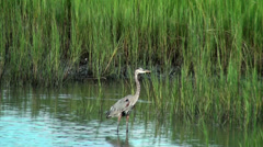 Stock Video Footage of Great Blue Heron with birds flying by