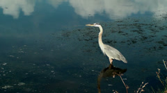 Heron looking for a fish in the shallows - stock footage