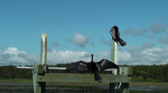 Two Anhinga Birds Sunning And Preening Stock Footage