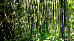 Thick bamboo forest cutaway transition nature beauty outdoors travel lost spooky Stock Footage