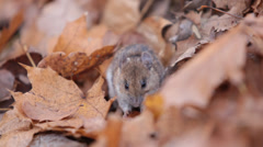 Forest mouse eats nuts found under fallen leaves. apodemus uralensis Stock Footage