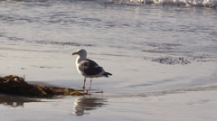 Seagull On The Beach Stock Footage