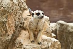 Meerkat . Stock Photos