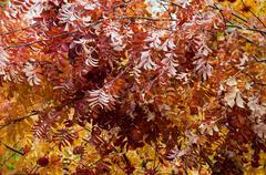 Multicolored paint autumn rowan. Stock Photos