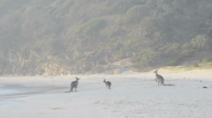 Kangaroos on beach Stock Footage
